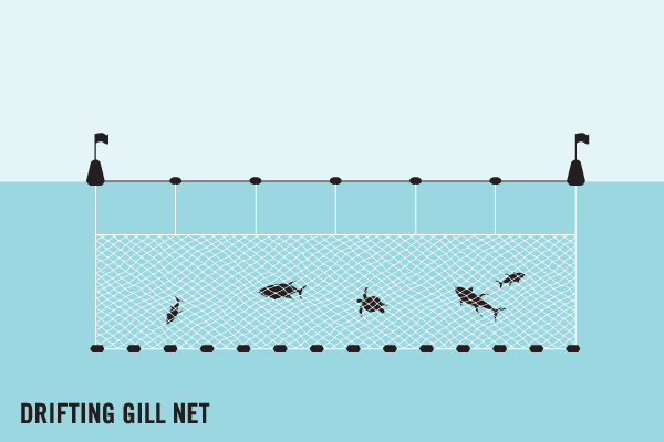 What are ghost nets olive ridley project for Drift net fishing