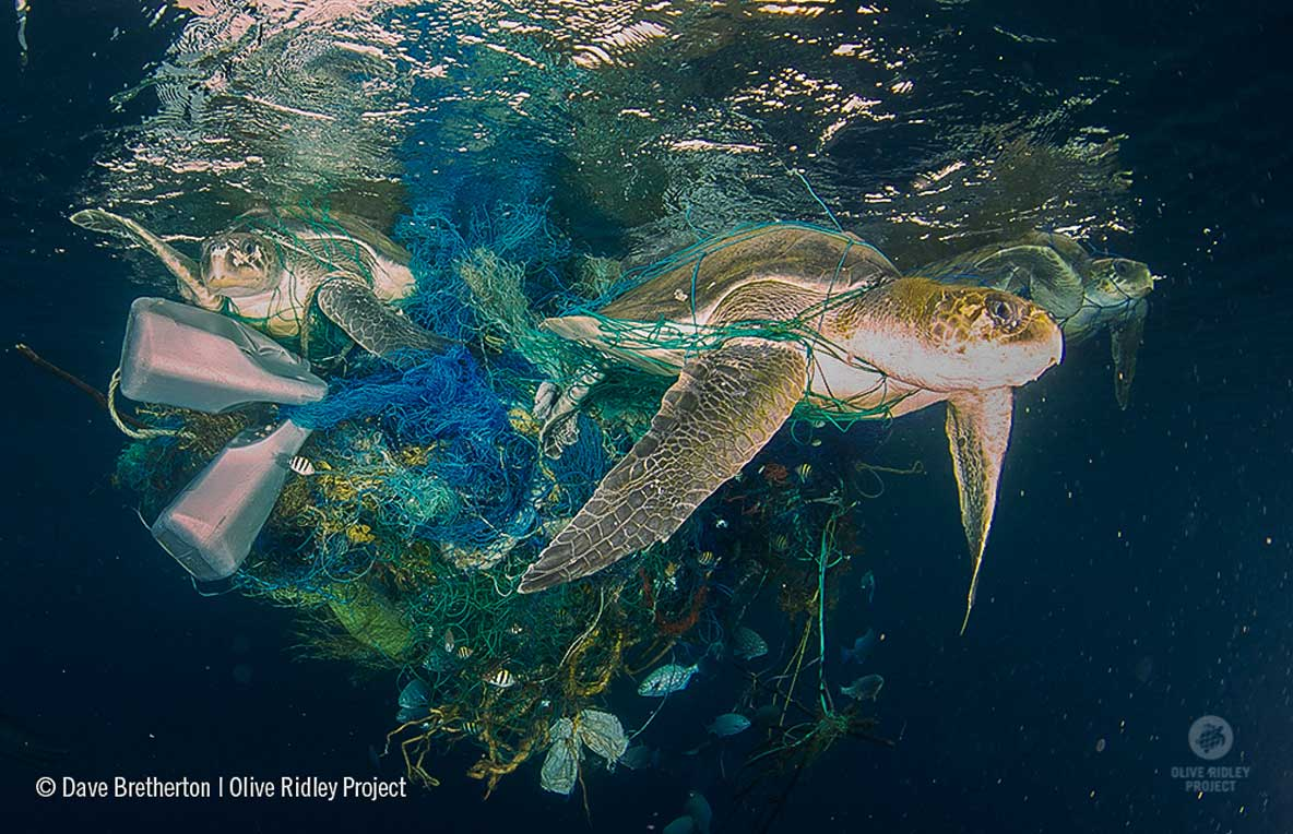 three olive ridely turtles entangled in ghost net Maldives