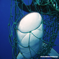Ghost Net Claims The Lives Of Two Turtles And One Shark