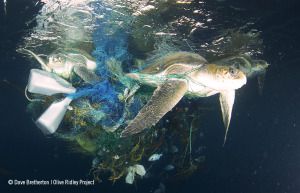 3 turtles trapped in a ghost net