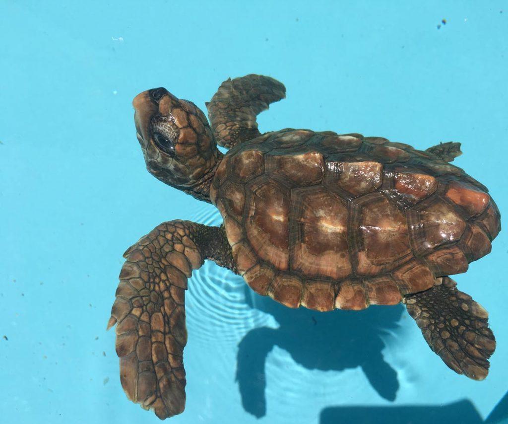 Baby loggerhead turtle Emme Maldives rescue centre
