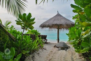 A nesting green turtle makes her way arouond beach furniture in Maldives