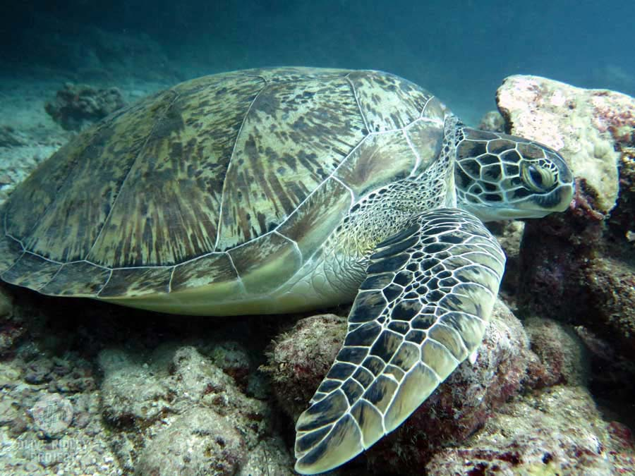 Adult green turtle resting on the reef, Maldives. Image.