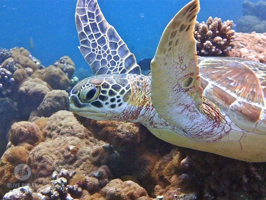 Green sea turtle swimming in the sea in Maldives Indian Ocean