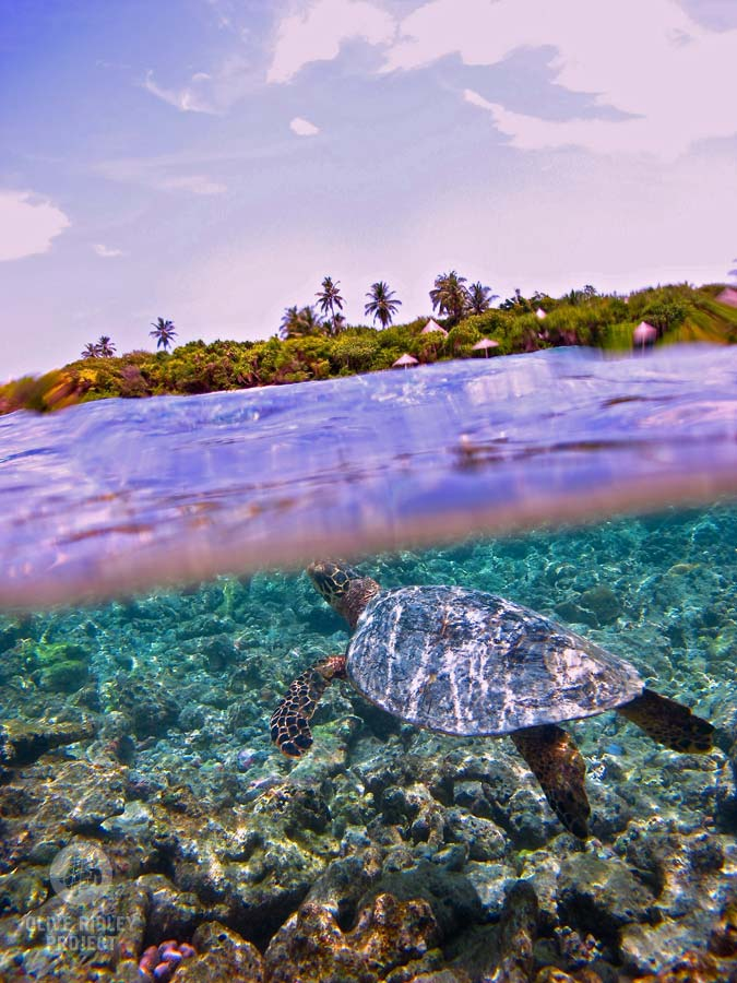 Hawksbill sea turtle surfacing for air Maldives