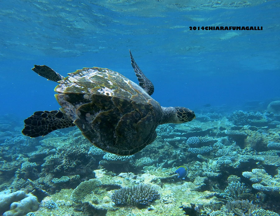 Hawksbill turtle missing a front flipper swimming Baa Atoll Maldives