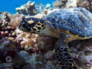 hawksbill turtle resting on the reef baa atoll maldives