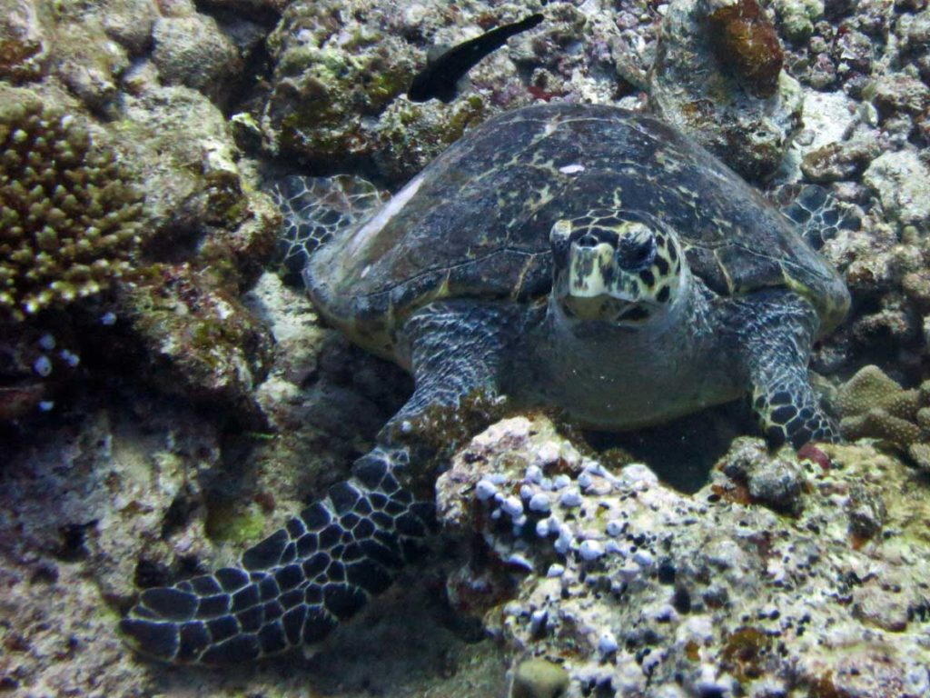 Hawksbill turtle resting on the reef, Maldives. A resting turtle can remain underwater for 4-7 hours, image