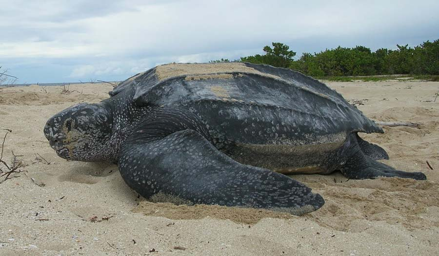 Leatherback Turtle on the beach © Claudia Lombard, USFWS