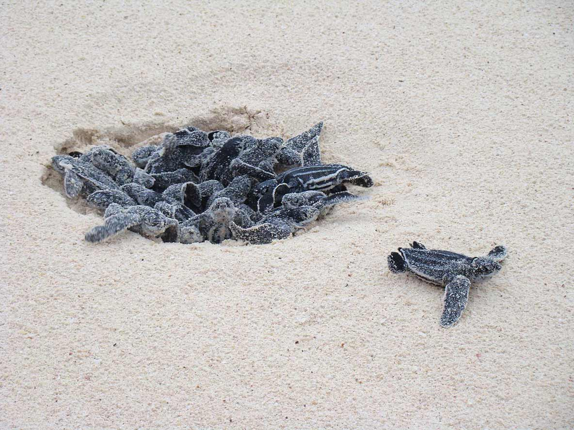 Leatherback turtle hatchlings emerging from nest
