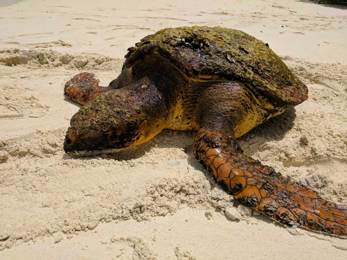 Adult loggerhead turtle on the beach in Maldives
