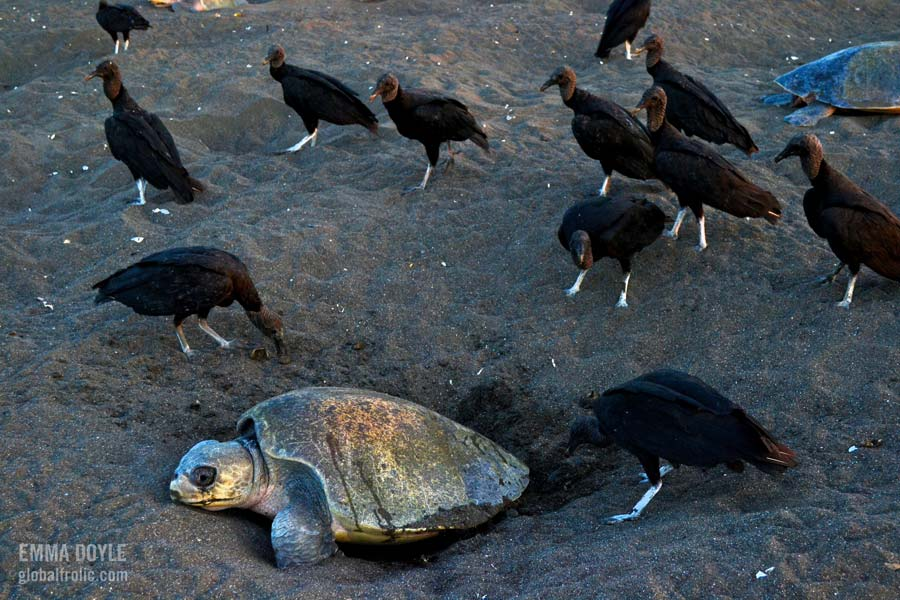 vultures pray on Olive ridley turtle eggs Orissa India