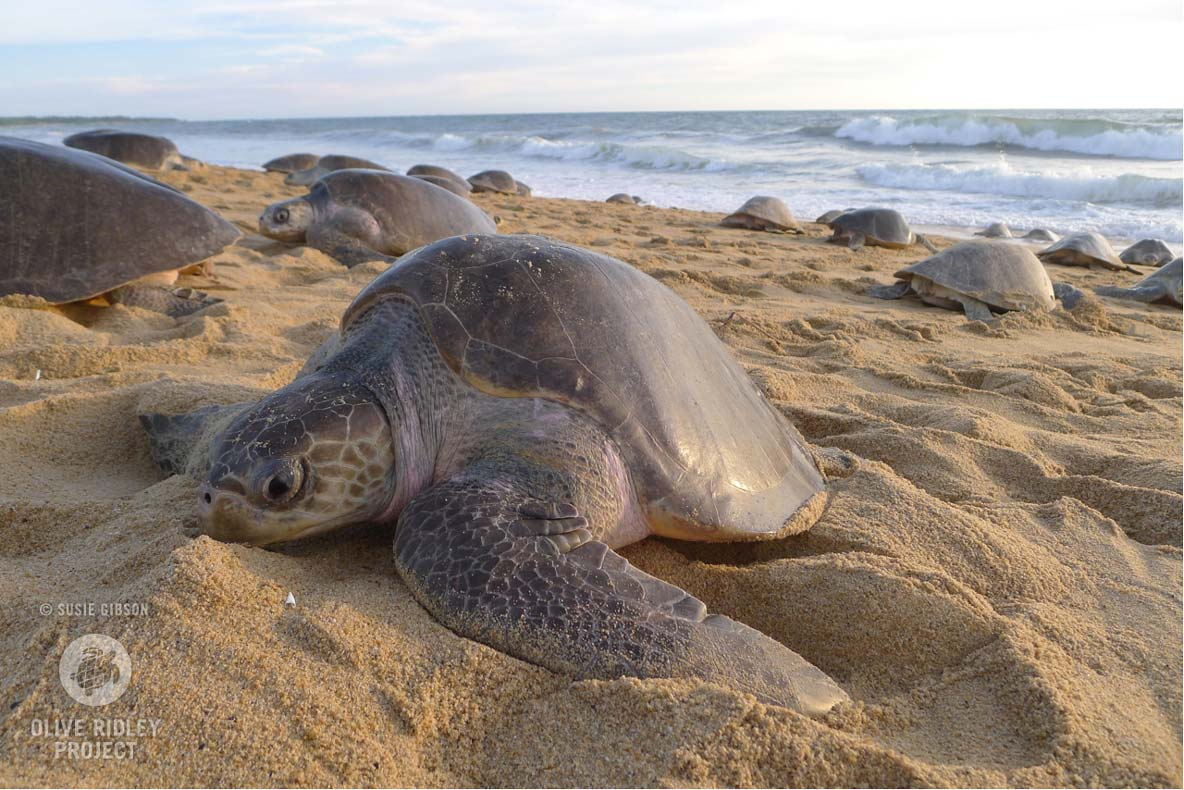 Female Oliver ridley sea turtle nesting on the beach during arribada life cycle of turtles
