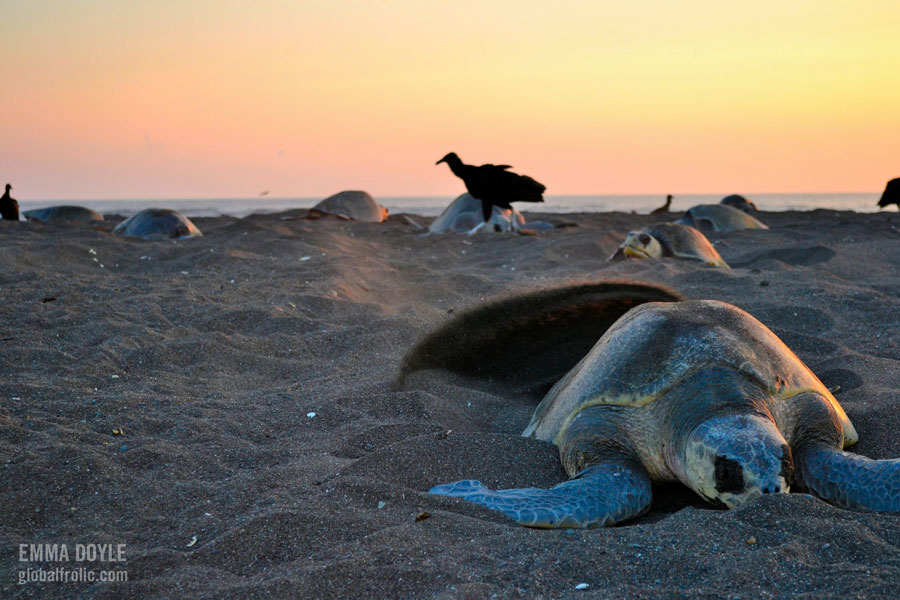 female olive ridley turtle nesting during arribada Orissa, India