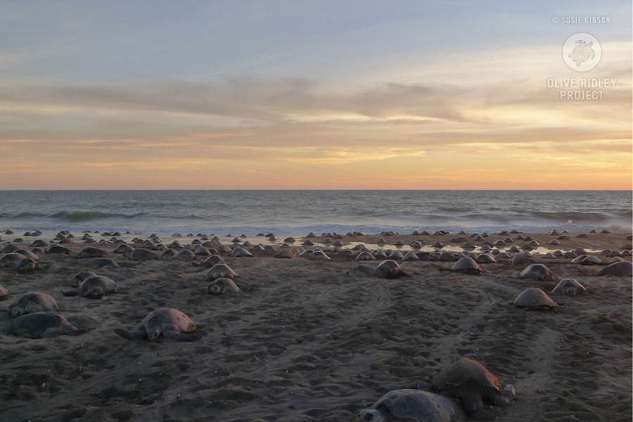 olive ridley arribada nesting event in Michoacan Mexico