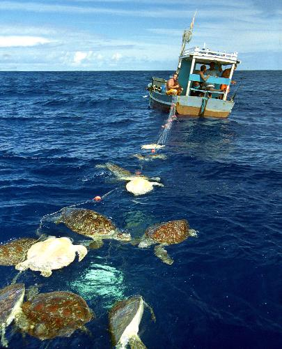 turtles caught as bycatch
