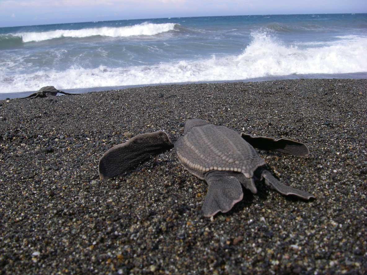 leatherback turtle on the beach
