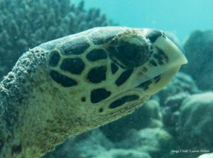 Facial profile of a Hawksbill turtle in Baa Atoll (Maldives). Turtle-ID HK2737. Image credit: Lauren Arthur