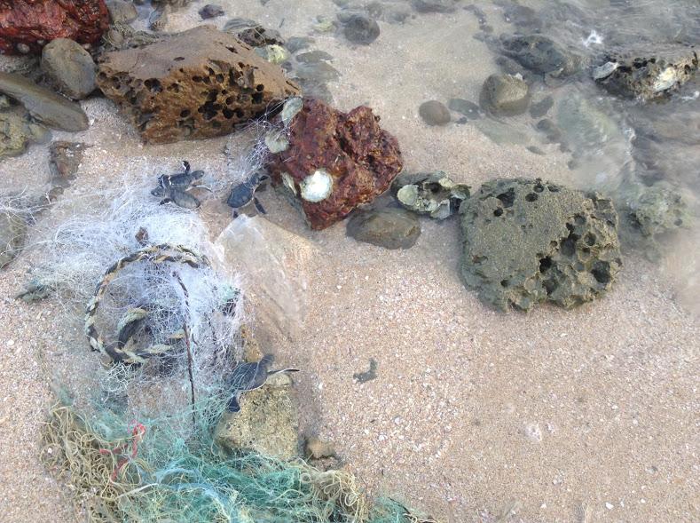 Ghost Net Traps 15 Turtle Hatchlings On Astola Island
