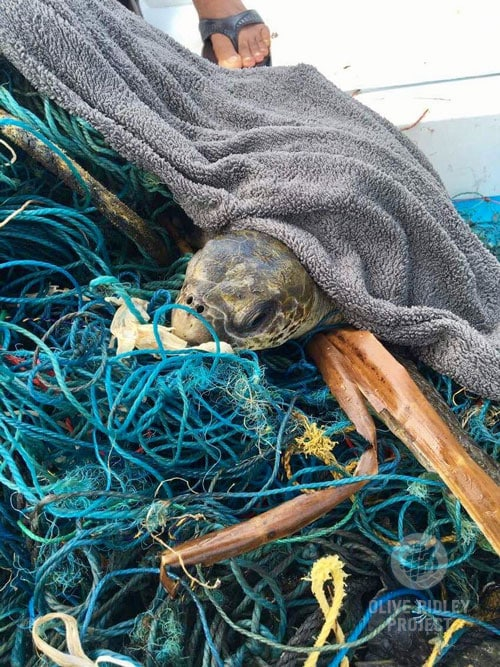Turtle trapped in ghost net after rescue Maldives