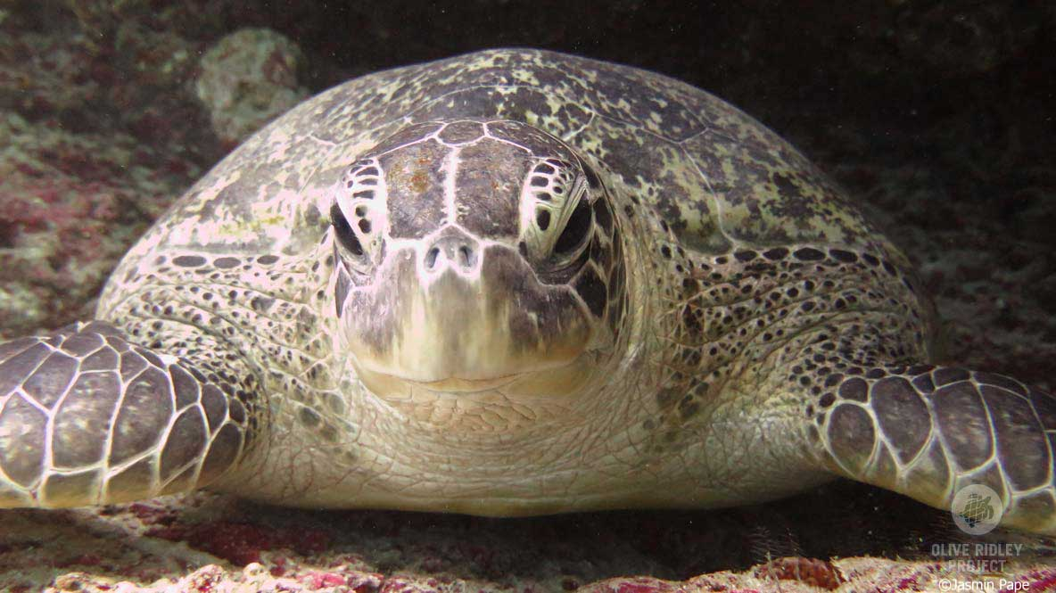 Green turtle close up Maldives ©Jasmine Pape