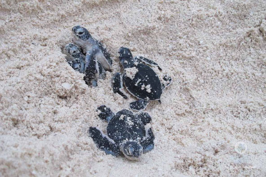 Increased sand temperature on nesting beaches can shift the sex ratio of sea turtle hatchlings to almost entirely female. Green turtle hatchlings, Maldives, image