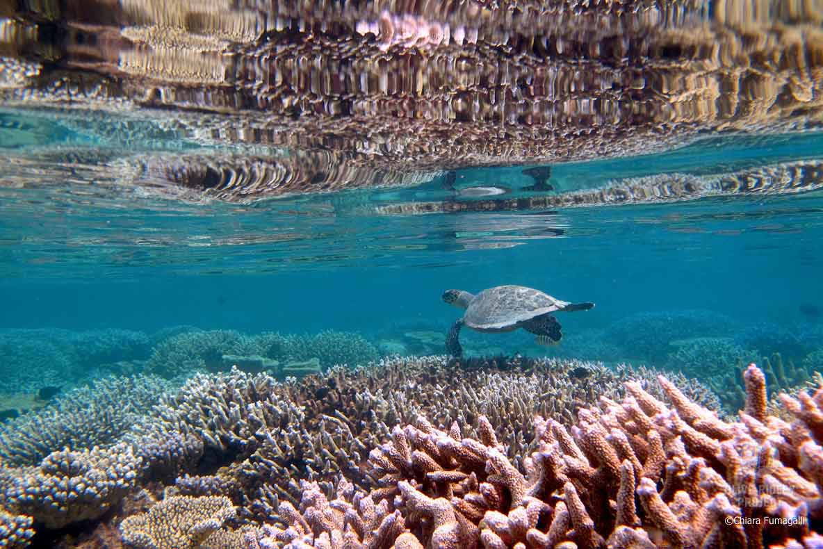 Juvenile Hawlsbill turtle swimming on reef Maldives