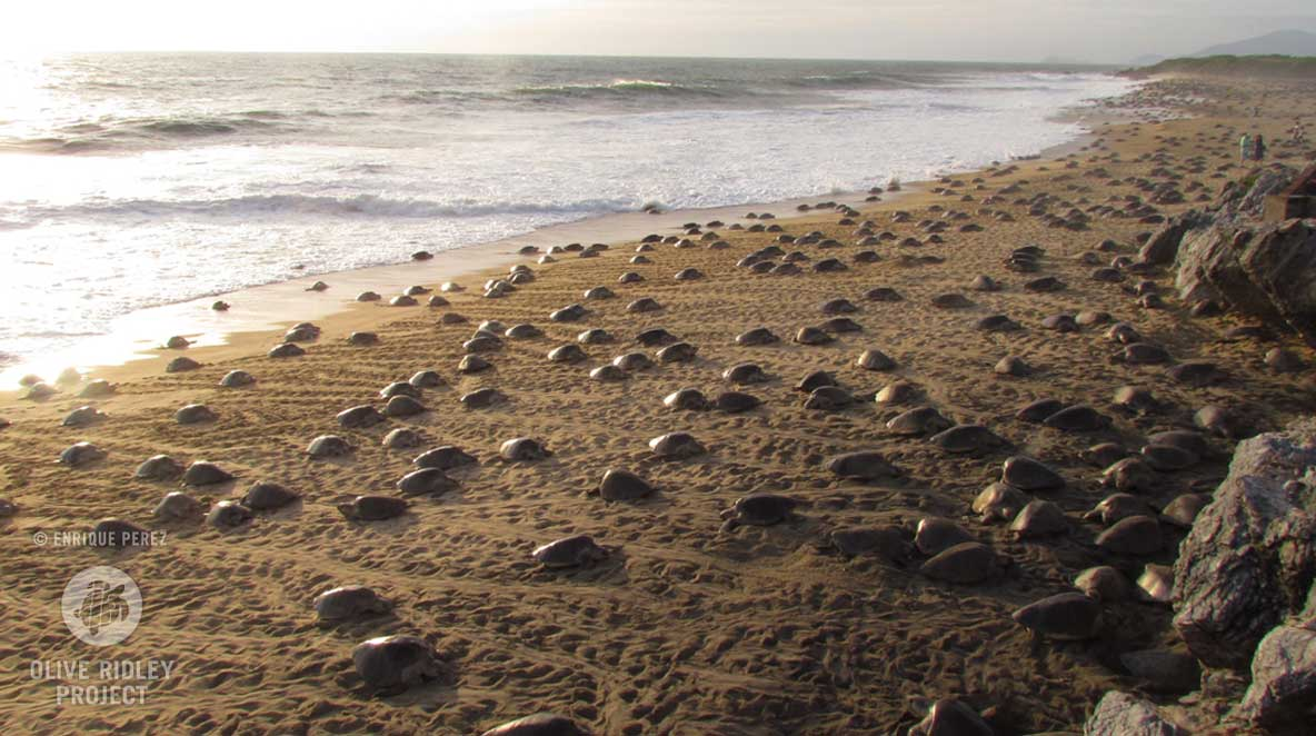 Arribada nesting Olive ridley sea turtles life cycle of turtles