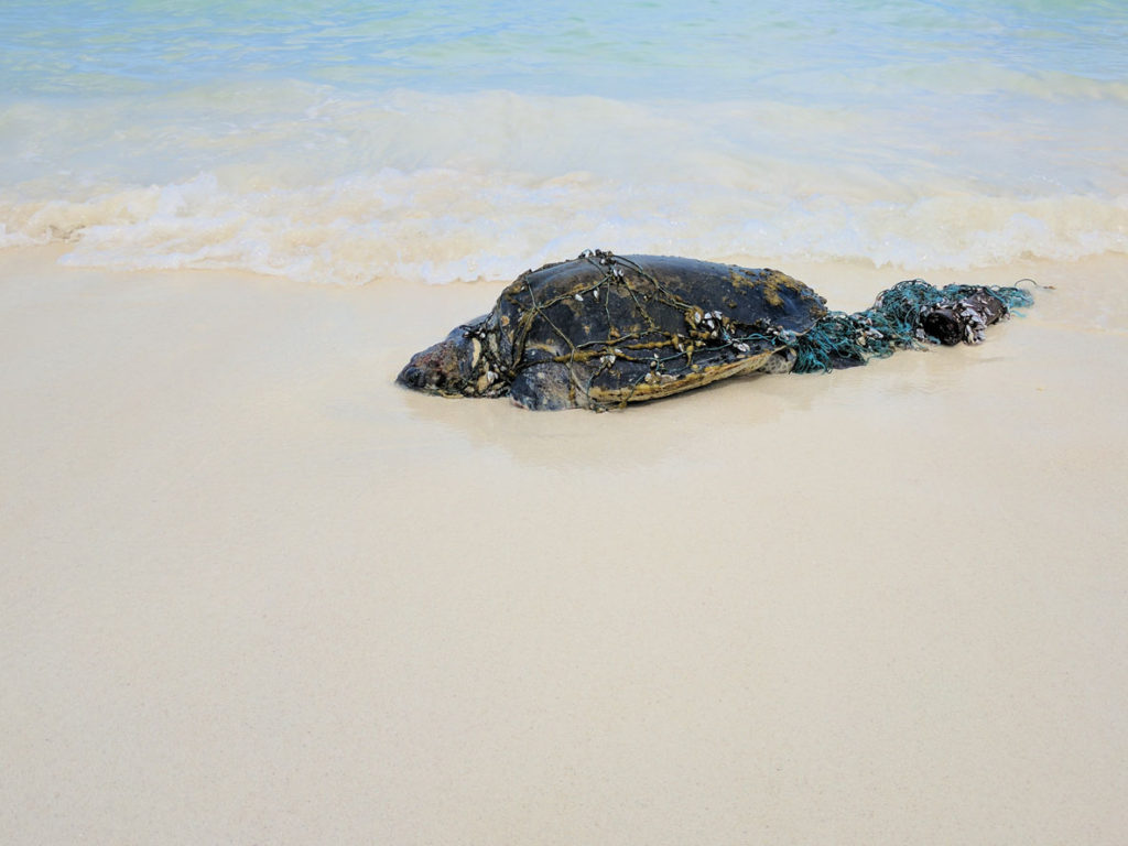 Entangled adult Olive Ridley sea turtle washed up on beach Maldives