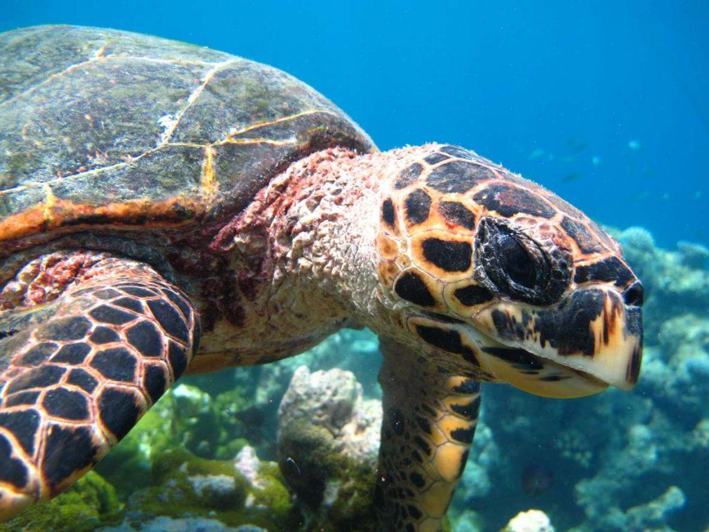 hawksbill turtle Maldives