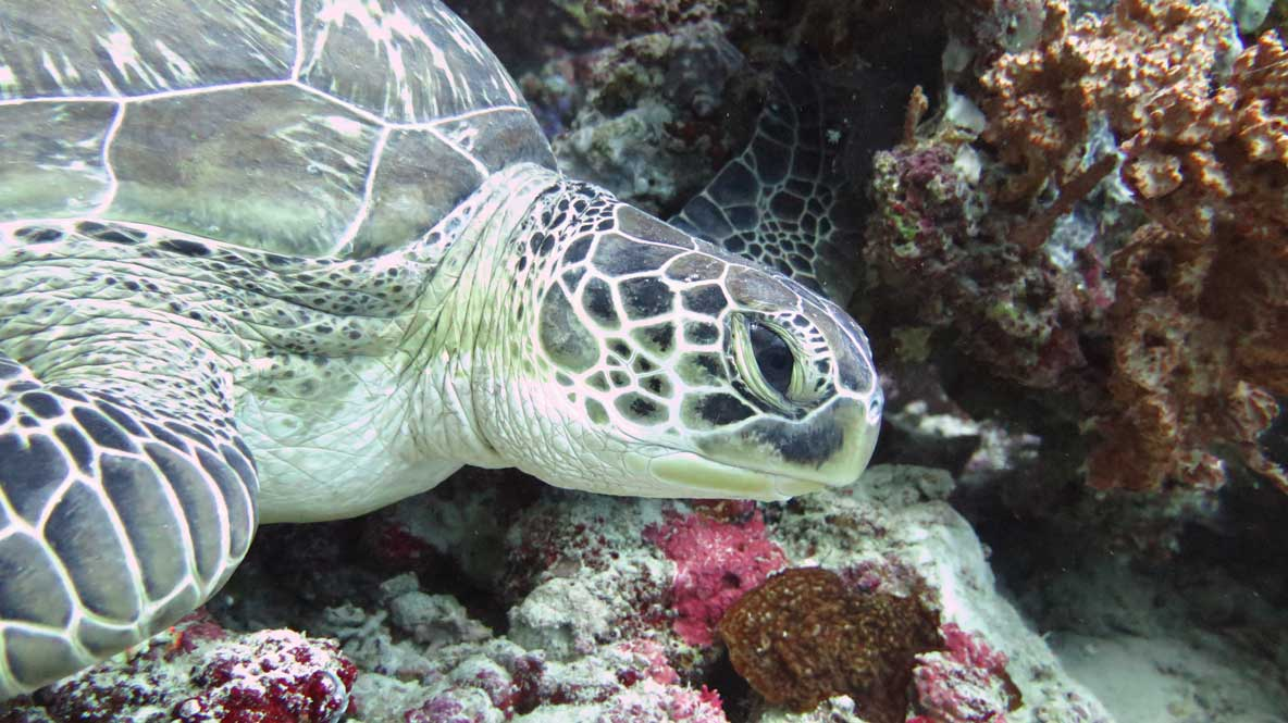 Clio, an identified green sea turtle, Maldives, Indian Ocean