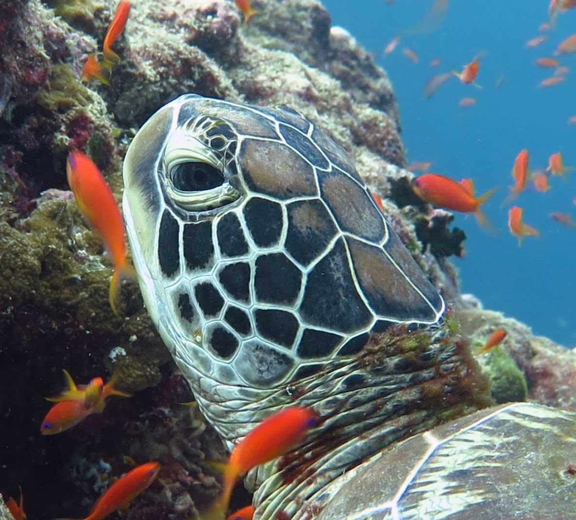 Profile of Pia green sea turtle Maldives Indian Oean