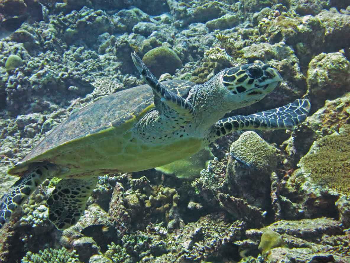 Hawksbill sea turtle on reef in Maldives