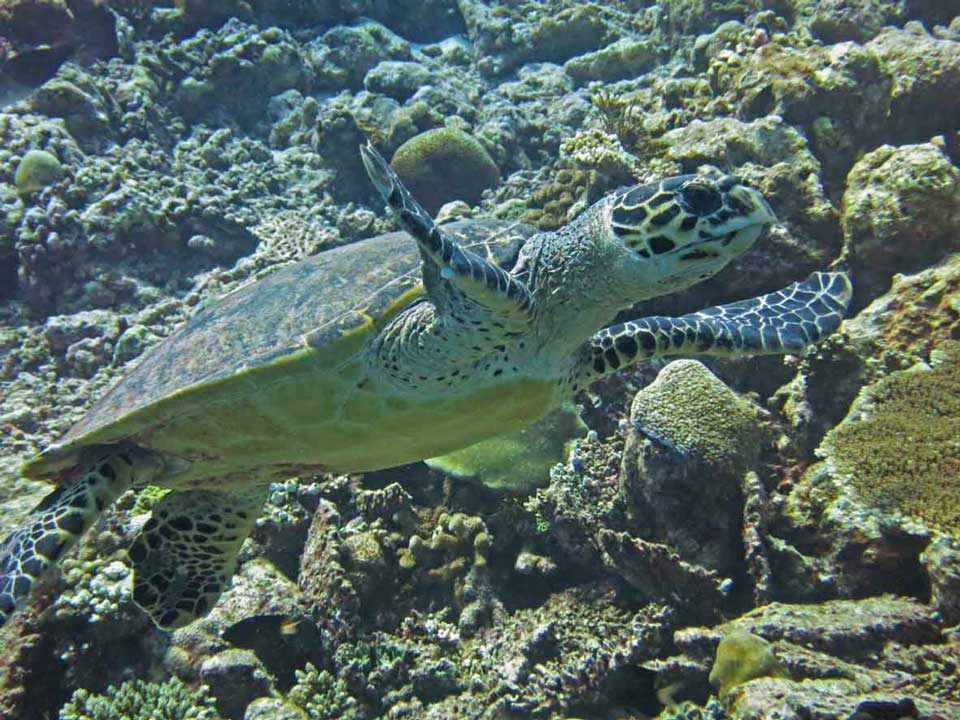 Hawksbill sea turtle on reef in Maldives