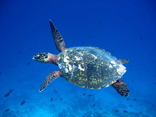 Aguadormi, an identified Hawksbill sea turtle swimming in the blue, Maldives. Image.