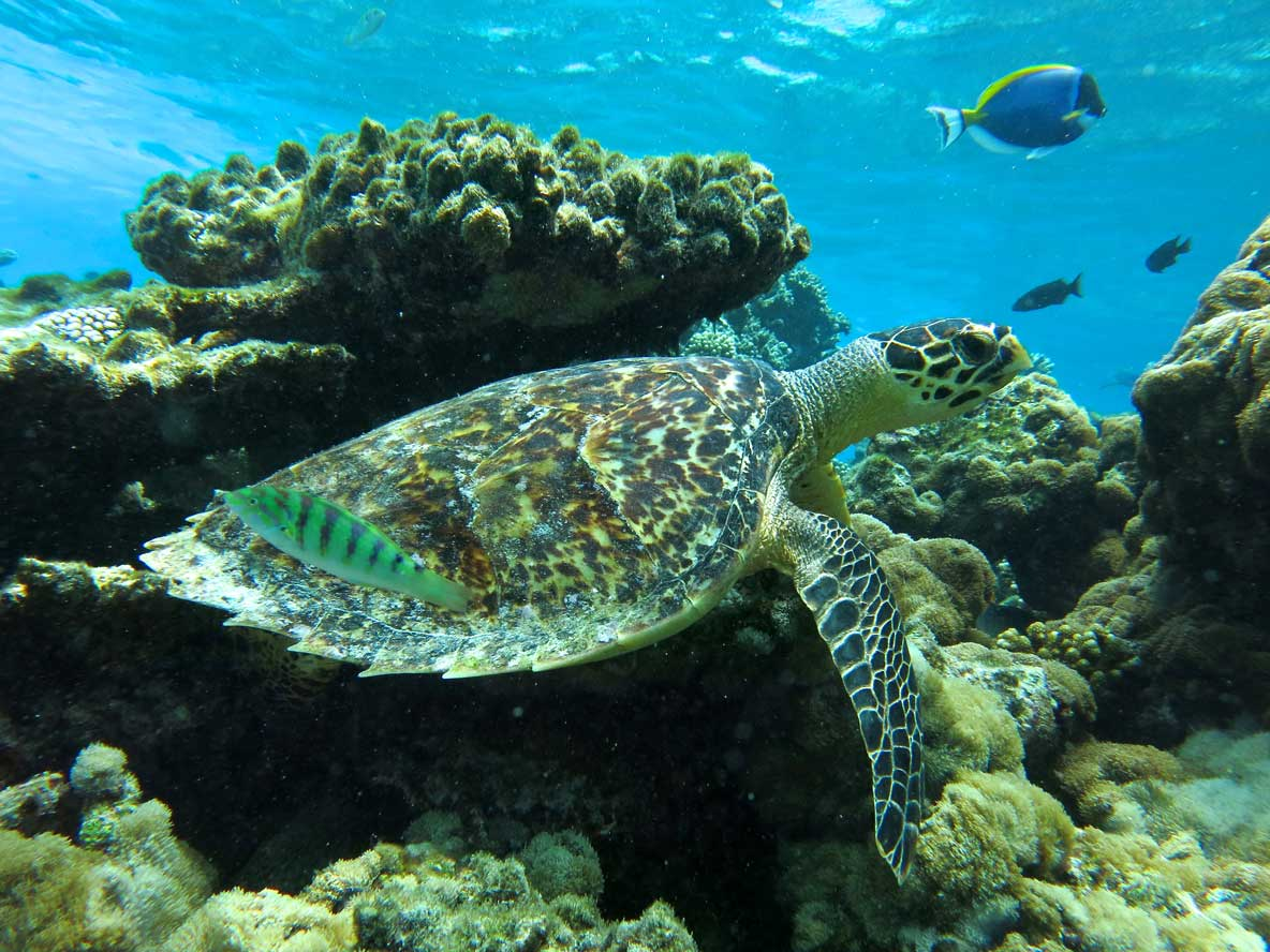Identified Hawksbill turtle Maldives named Galileo
