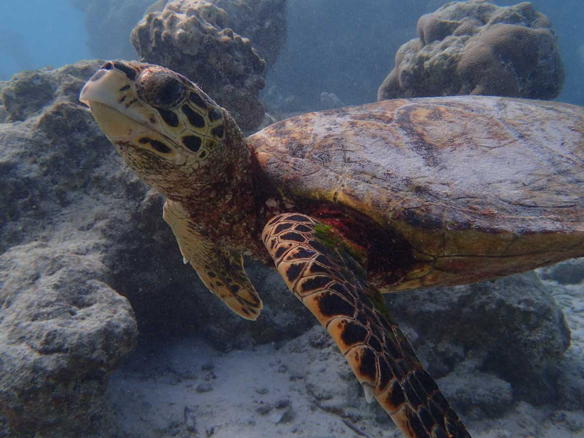 Left profile of Keno Hawksbill turtle