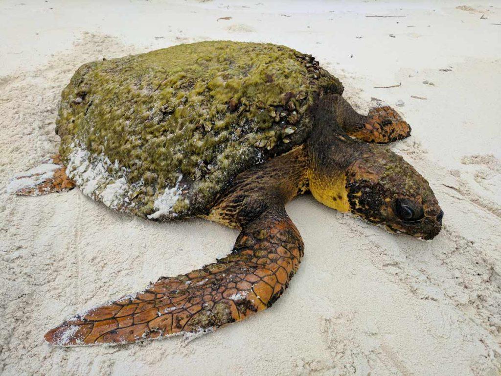 Loggerheaf sea turtle on the beach in Maldives