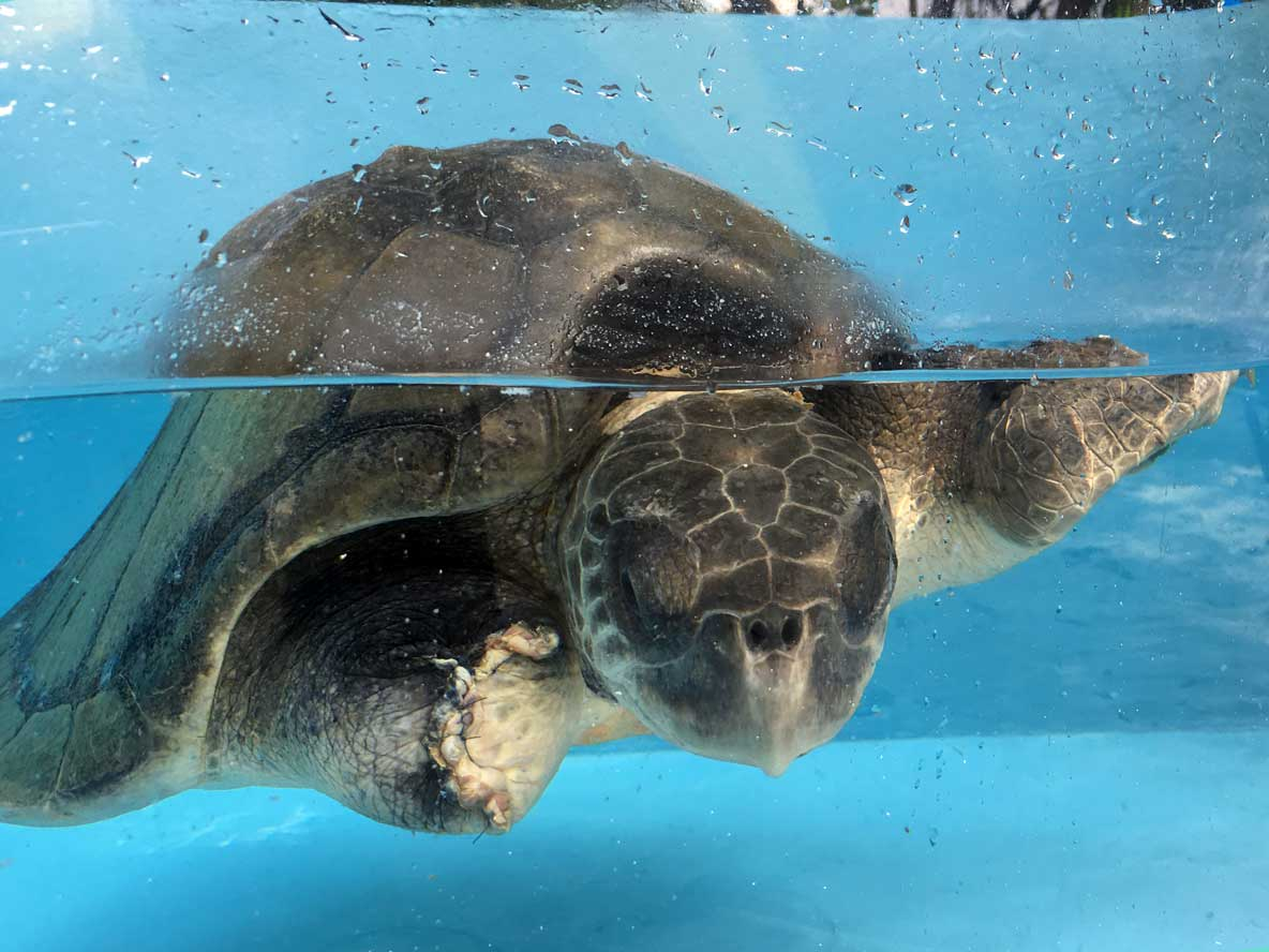Injured Olive ridley turtle Nadia at ORP Turtle Rescue Centre