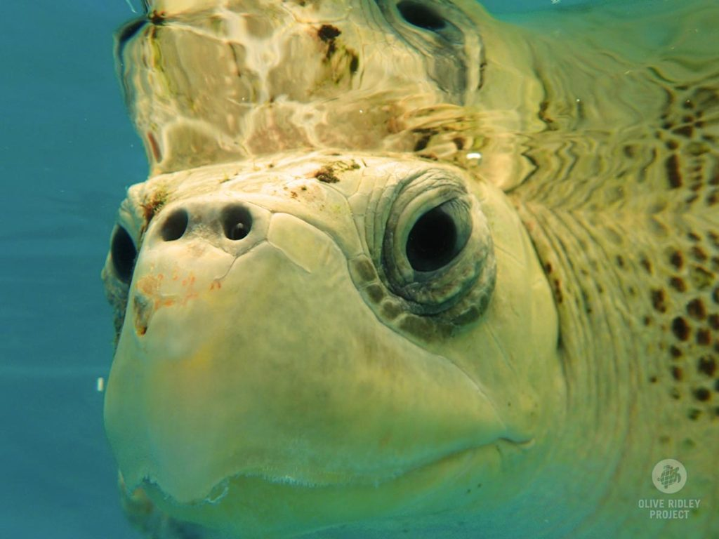Close up of face of Olive Ridley sea turtle
