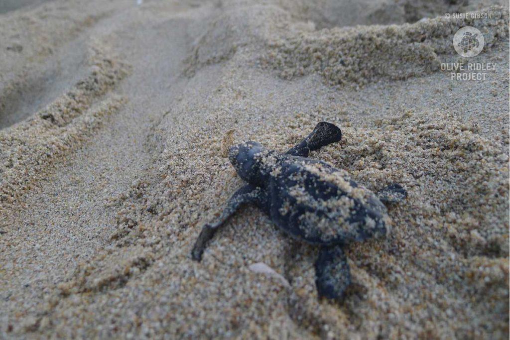 Olive-Ridley-sea-turtle-hatchling-leaving-nest