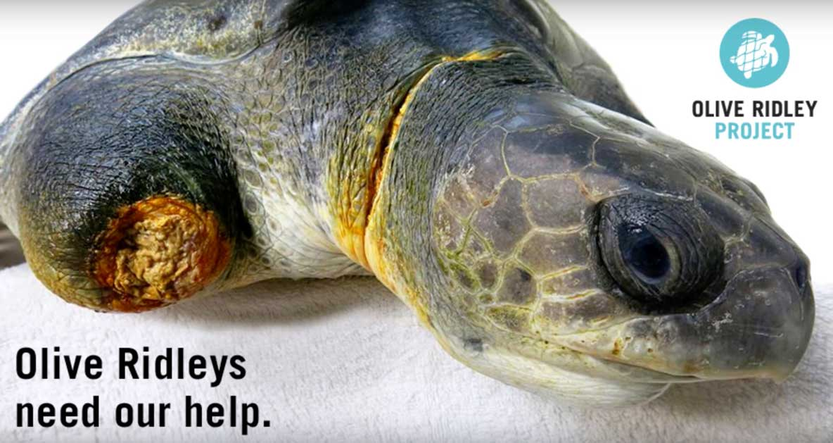 Sea Turtles Of The Indian Ocean Olive Ridley Project