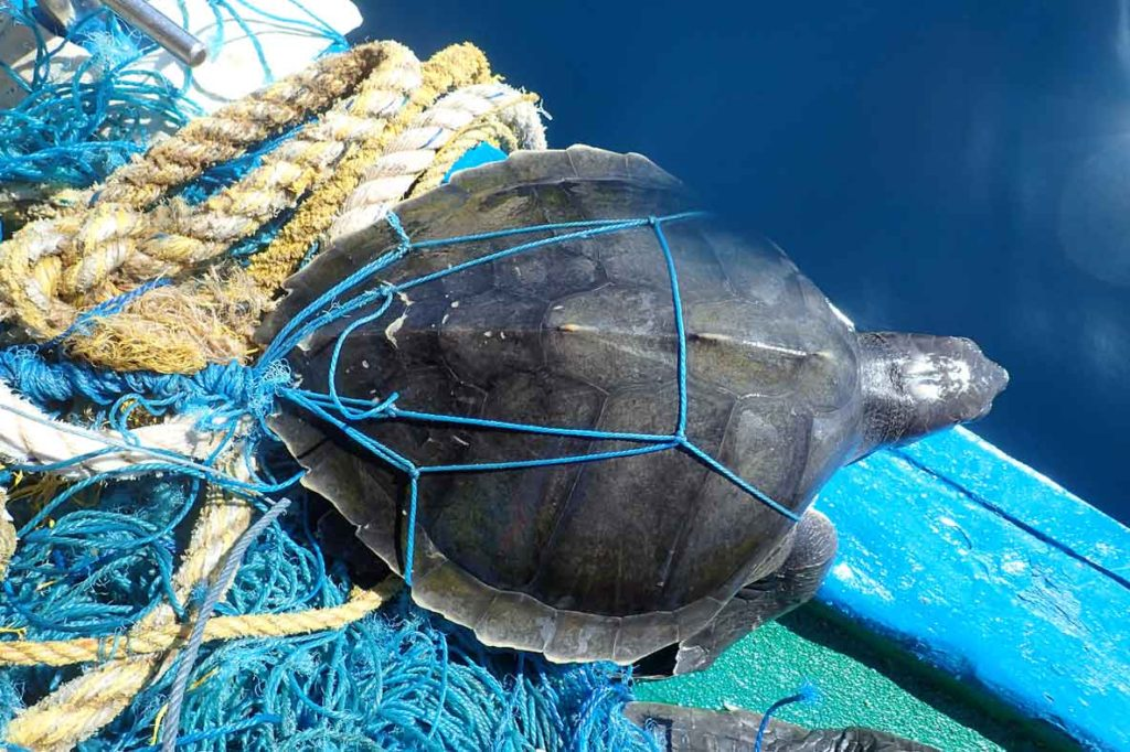 Entangled Olive Ridley turtle on boat after rescue