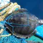 Entangled Olive Ridleu turtle on boat after rescue