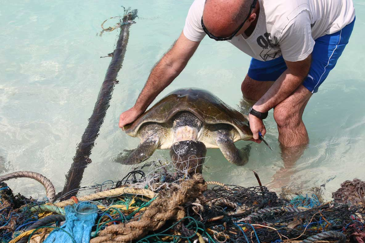 Olive ridley sea turtle with neck almost severed being freed from ghost net