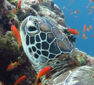 Sea turtle facts - we answer all you turtle questions. Green sea turtle, Maldives. Image.