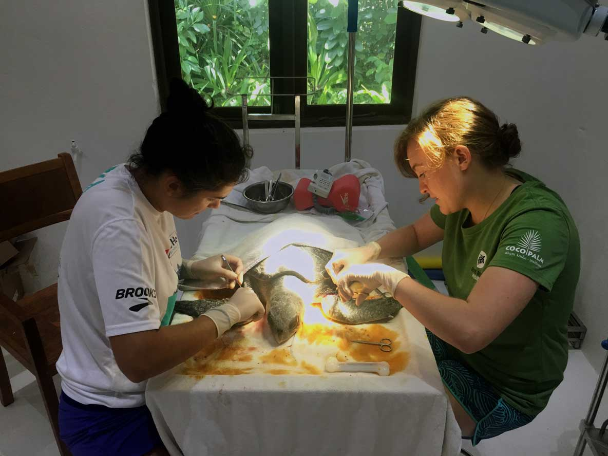 Resident turtle vets performing suregery on rescued turtle Maldives
