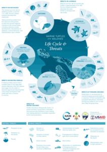 Sea Turtle Life Cycle. Infographic.