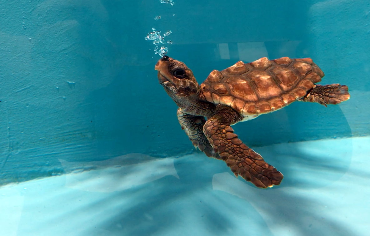 Baby loggerhead turtle blowing bubbles