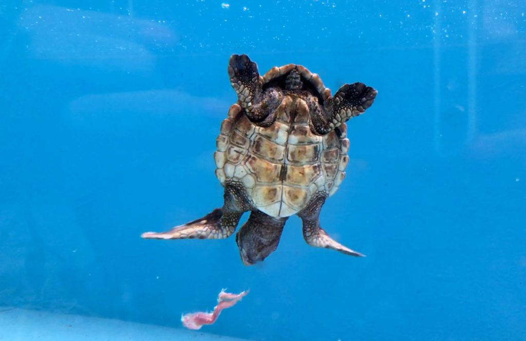 Emme baby loggerhead sea turtle recoving in ORP rescue centre pool